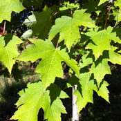 Acer rubrum 'Armstrong' - Armstrong Maple