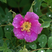 Rosa woodsii - Woods Rose