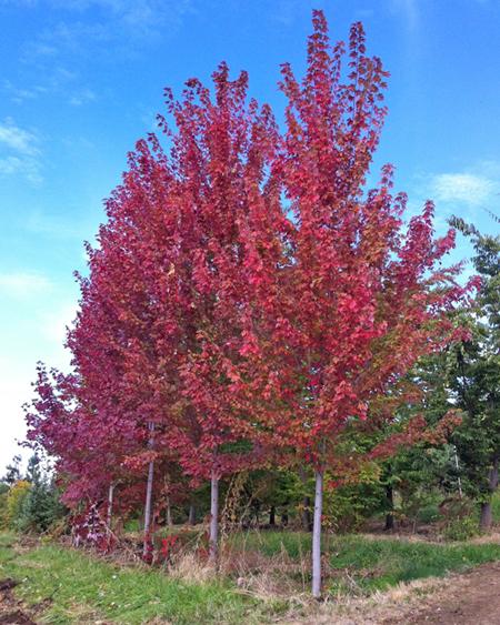 Acer Freemanii Autumn Blaze Autumn Blaze Maple