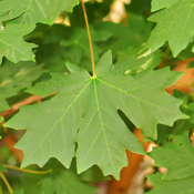 Acer macrophyllum - Big Leaf Maple