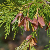 Calocedrus decurrens - Incense Cedar