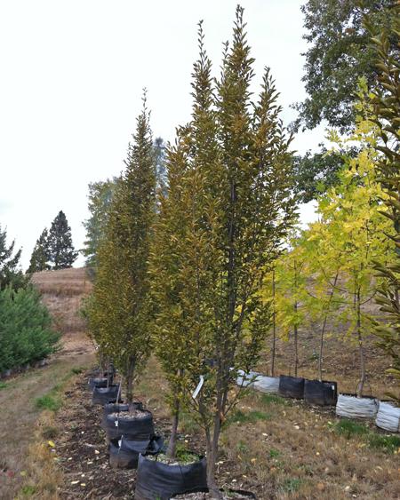 carpinus betulus 39 fastigiata 39 upright european hornbeam. Black Bedroom Furniture Sets. Home Design Ideas