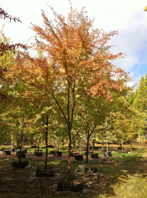 Car Sun Shade >> Carpinus japonica - Japanese Hornbeam