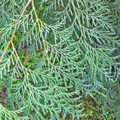 Chamaecyparis lawsoniana - Port Orford Cedar