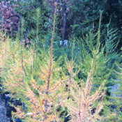 Larix occidentalis - Western Larch, Tamarack