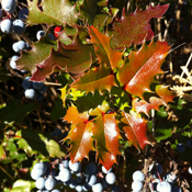 Mahonia aquifolium - Oregon Grape