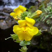 Mimulus guttatus - Seep Monkeyflower