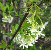 Oemleria cerasiformis - Indian Plum, Oso Berry