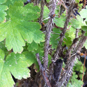 Ribes lacustre - Prickly Currant, Swamp Gooseberry