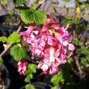 Ribes sanguineum - Red Flowering Currant